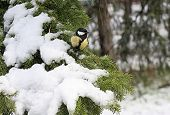 pic of conifers  - Titmouse on the snow - JPG
