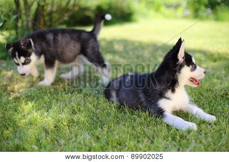 Two puppies husky sitting on the green lawn