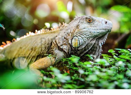 Close-up Of Green Iguana (iguana Iguana)