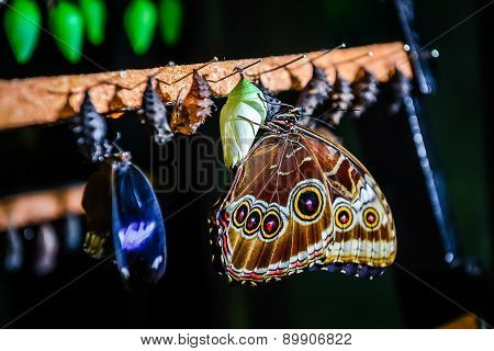 Close-up Of Morpho Peleides Butterfly And Chrysalis