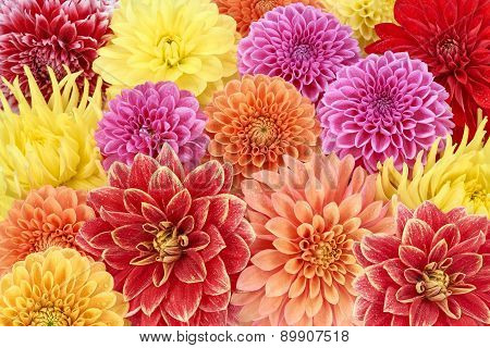 Different types of dahlias. Colorful floral summer background
