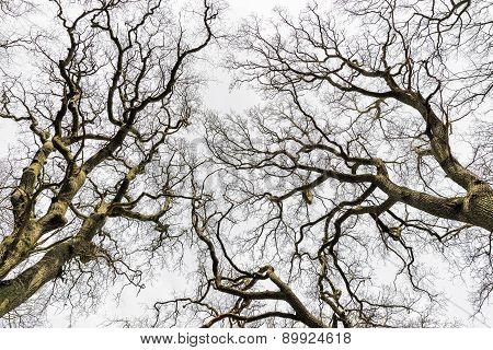 Leafless Treetops