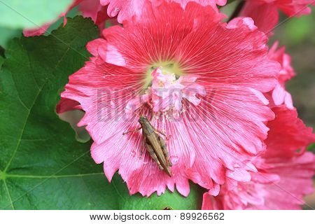 Red hollyhock flowers and grasshopper