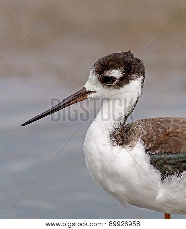 Black-necked Stilt - juvenile