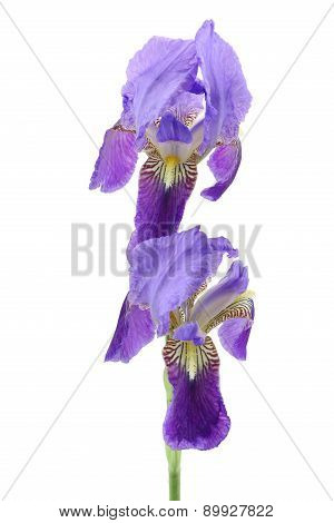 Purple Iris Flower Isolated On White Background