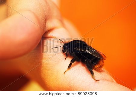 Tiny Bumble Bee Sitting On A Finger