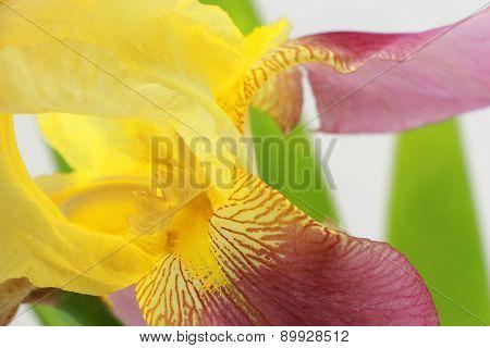 Yellow Iris Flower Closeup On White Background