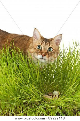 Cat To Hunt In The Grass