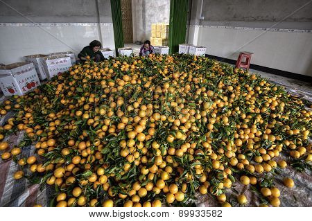 Pile Citrus Fruits, Many New Harvest Of Oranges, Women Packing