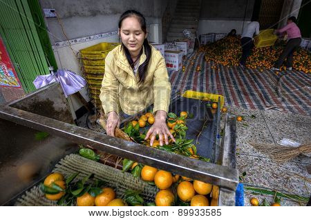 Young Asian Woman Sorts And Handles Oranges In The Packing House.