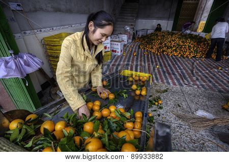 Chinese Girl Sorting And Handling An Of New Harvest Oranges.