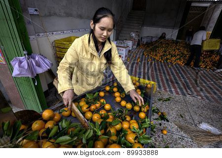 Chinese Girl Citrus Being Washed Sorted And Graded After Harvest.