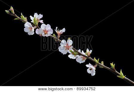 Blooming Cherry-tree