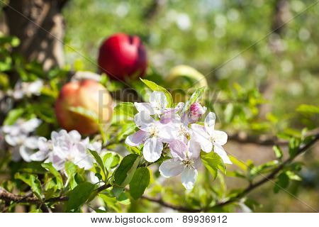Apple flowers with apple fruits