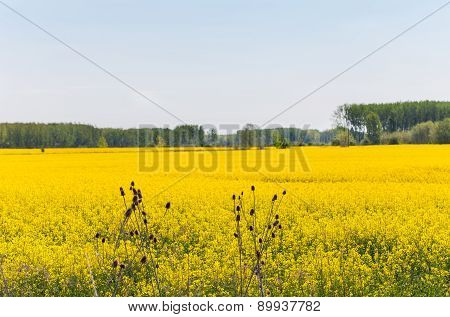 Canola field under blue sky