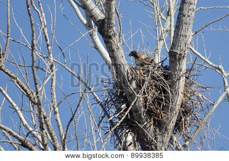 Red-tailed Hawk Sitting On Its Nest In Spring