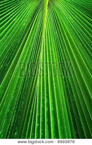 Palmae  green Leaf