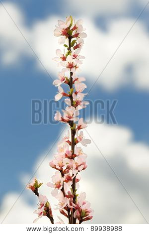 Pink Sweet Cherry Blossoms On Branch Against Cloudy Sky