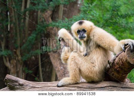 White Female Gibbon