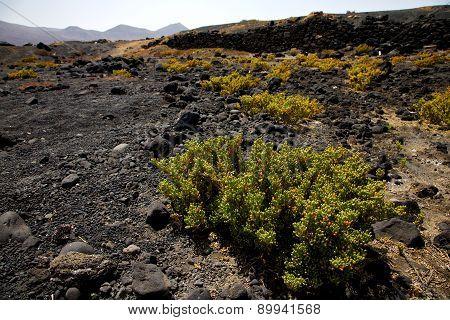 Plant Flower  Bush Timanfaya  In Los Volcanes Volcanic   Lanzarote