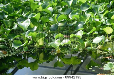 Small Water Lillies with reflection