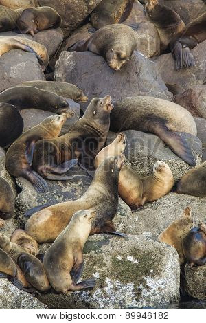 Sea lions clustered together.