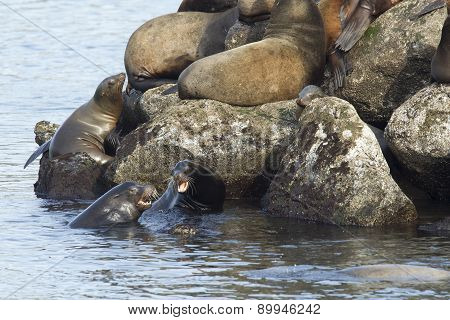 Sea lions fighting in the water.
