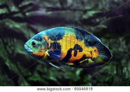 Fish Astronotus