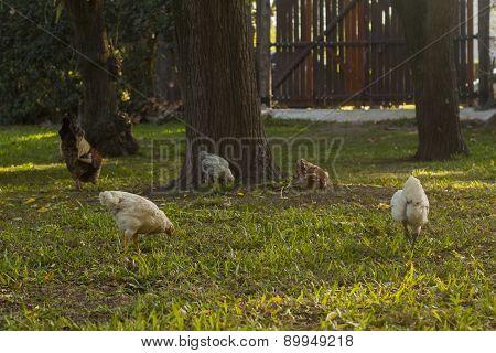 Free Chicken In The Garden