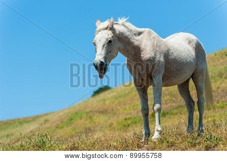 White Horse On Hillside Field Tongue Out