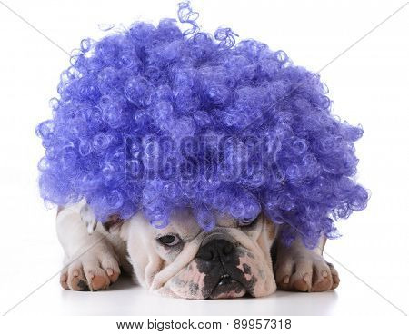 funny dog - bulldog wearing clown wig on white background