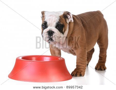 feeding the dog - bulldog puppy standing at dog bowl waiting to be fed