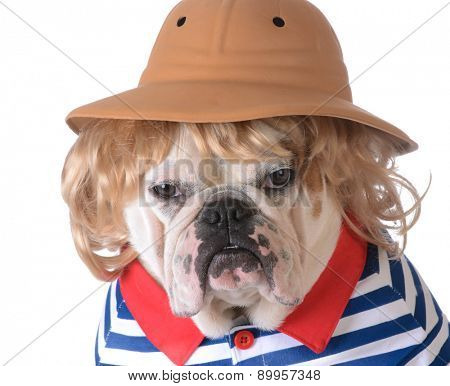 dog wearing clothing - bulldog with blonde wig, safari had and shirt on white background