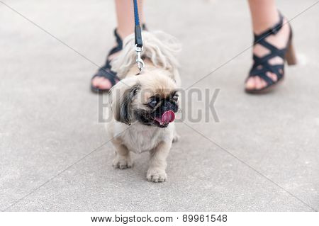 Pekingese dog walking next his owner feet
