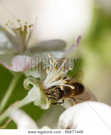 Bee Pollinating Apple Flower