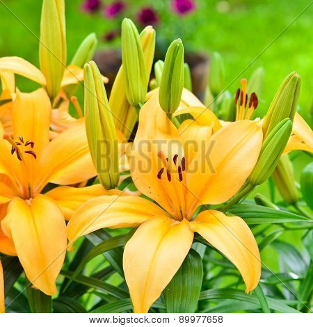 Yellow Lily Flowers Outside In The Garden.