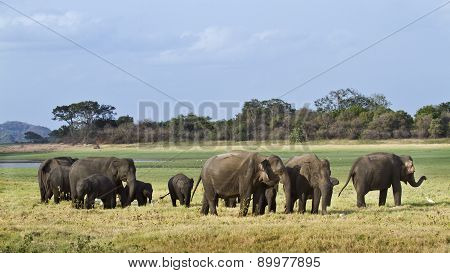 Herd of asian Elephant In Minnerya, Sri Lanka