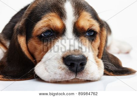 Beagle Puppy, Lying In Front Of White Background