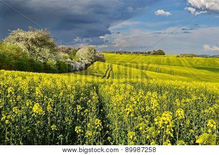 Spring in a rape field