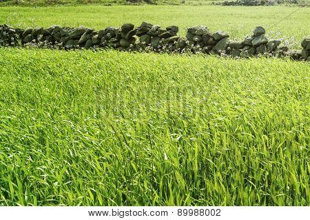 Close-up Of Green Barley Field