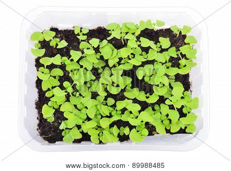 Basil Seedlings Isolated. Top View.