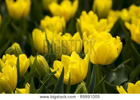 Yellow Tulips In The Spring.
