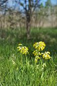 foto of cowslip  - A sunny portrait image of wild flowers in springtime using shallow depth of field - JPG