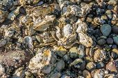 stock photo of oyster shell  - Closeup image of rocks and oyster shells on the shore of Hood Canal in Wahsington State - JPG