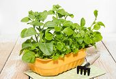 picture of petunia  - Young seedlings petunias on a wooden table - JPG