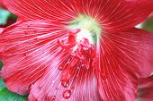 stock photo of raindrops  - Red hollyhock flower and raindrop,macro image of red flower blooming in the garden with raindrop in summer