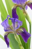 stock photo of purple iris  - Purple iris flowers with leaves isolated on white background - JPG