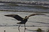 picture of shoreline  - Seagull with open wings on the shoreline of San Diego Beach in California - JPG