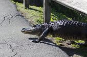 stock photo of gator  - American alligator decides to cross the pedestrian path on the Anhinga Trail - JPG