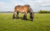 image of draft  - Brown Belgian draft horse grazing in fresh young grass in the early spring season - JPG